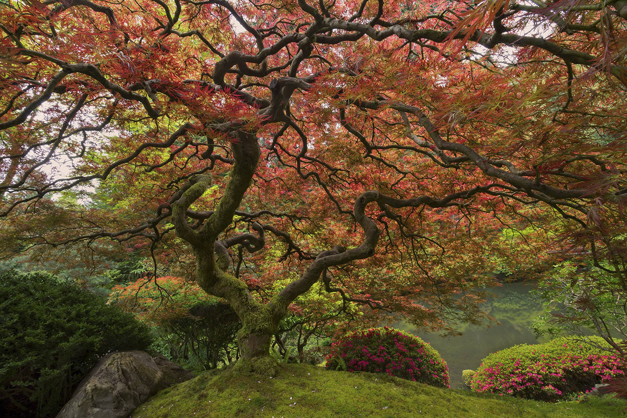 Photo by Scott McCracken                                 This famous Japanese Maple is one of many beautiful sights at the Portland Japanese Garden.